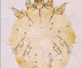 Sarcoptes scabei skin mite