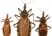 Species of kissing bugs found in the US. Curtis-Robles et al., CC BY 4.0 , via Wikimedia Commons