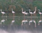 Beautiful flamingos (Phoenicopterus roseus) feeding in the ponds of a salina in Figueira da Foz.  The pink flamingos are one of salinas' greatest attractions, present throughout the year in the main Portuguese wetland areas. (Photo: Nelson Afonso)