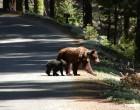 Bear crossing road, credit Rachel Mazur