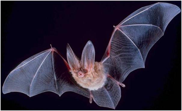 Bat - no copyright