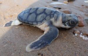 Flatback turtle hatchling
