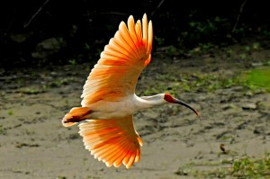 Crested-Ibis-6.-Credit-Ningshan-branch-of-State-Forestry-Administration-China-300x199