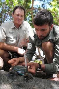 Researchers attach tag to crocodile