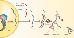 How antisense DNA can interfere with protein synthesis
