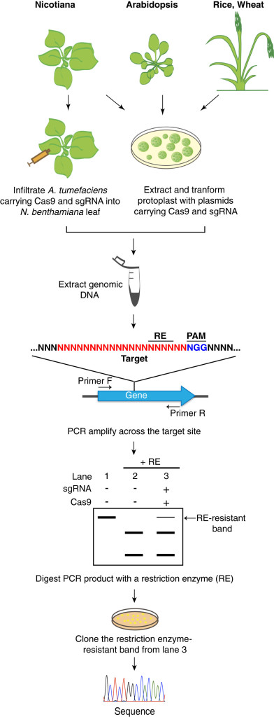 Schematic drawing illustrating examples of genome editing assays in plants.