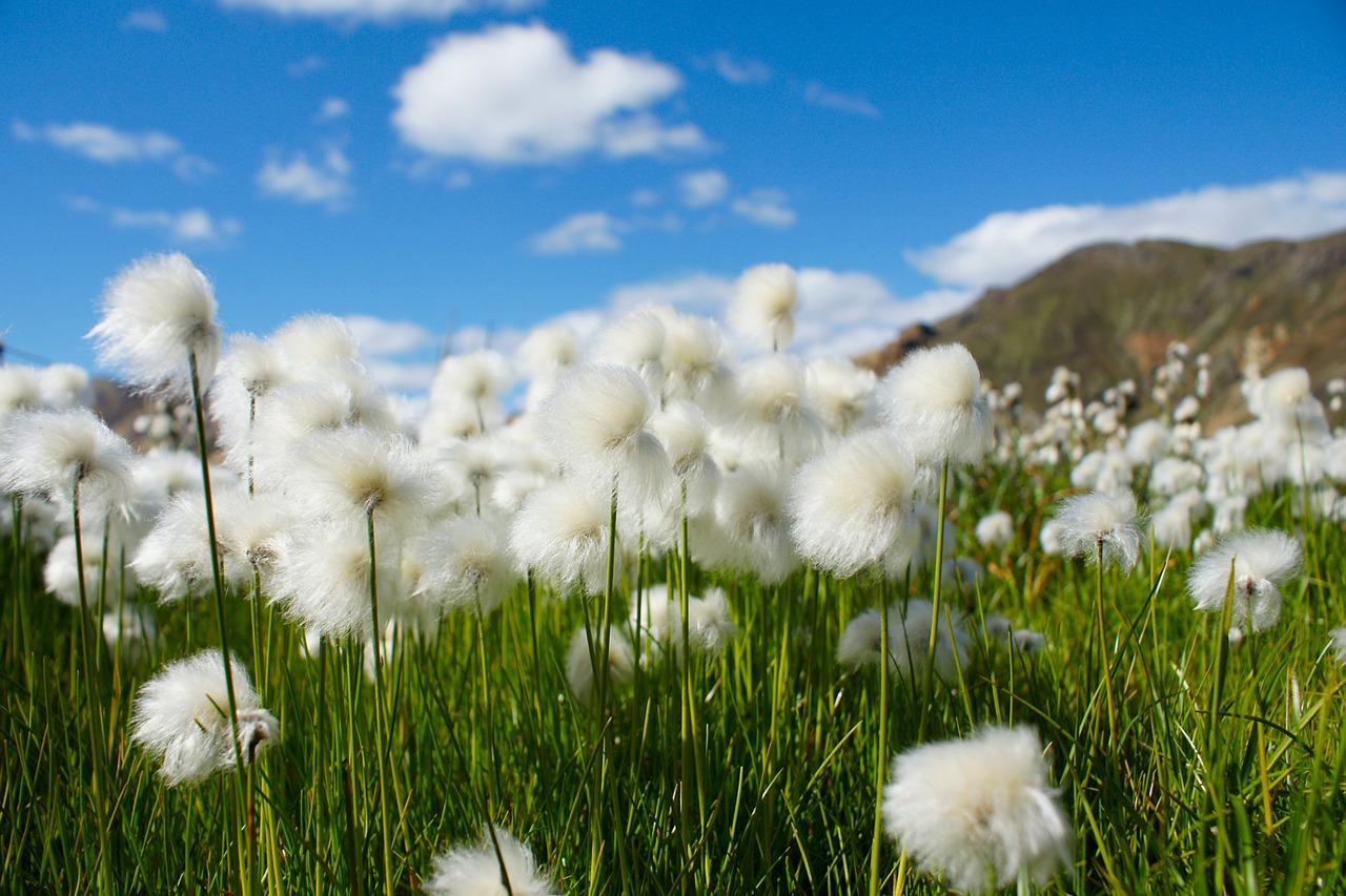 cotton-grass-680623_1280