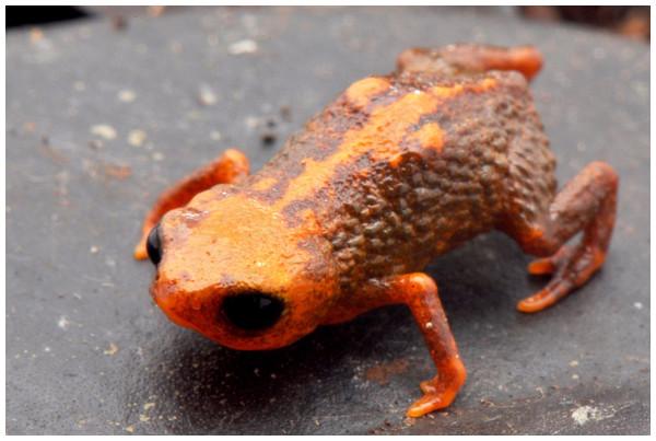 Miniature toad