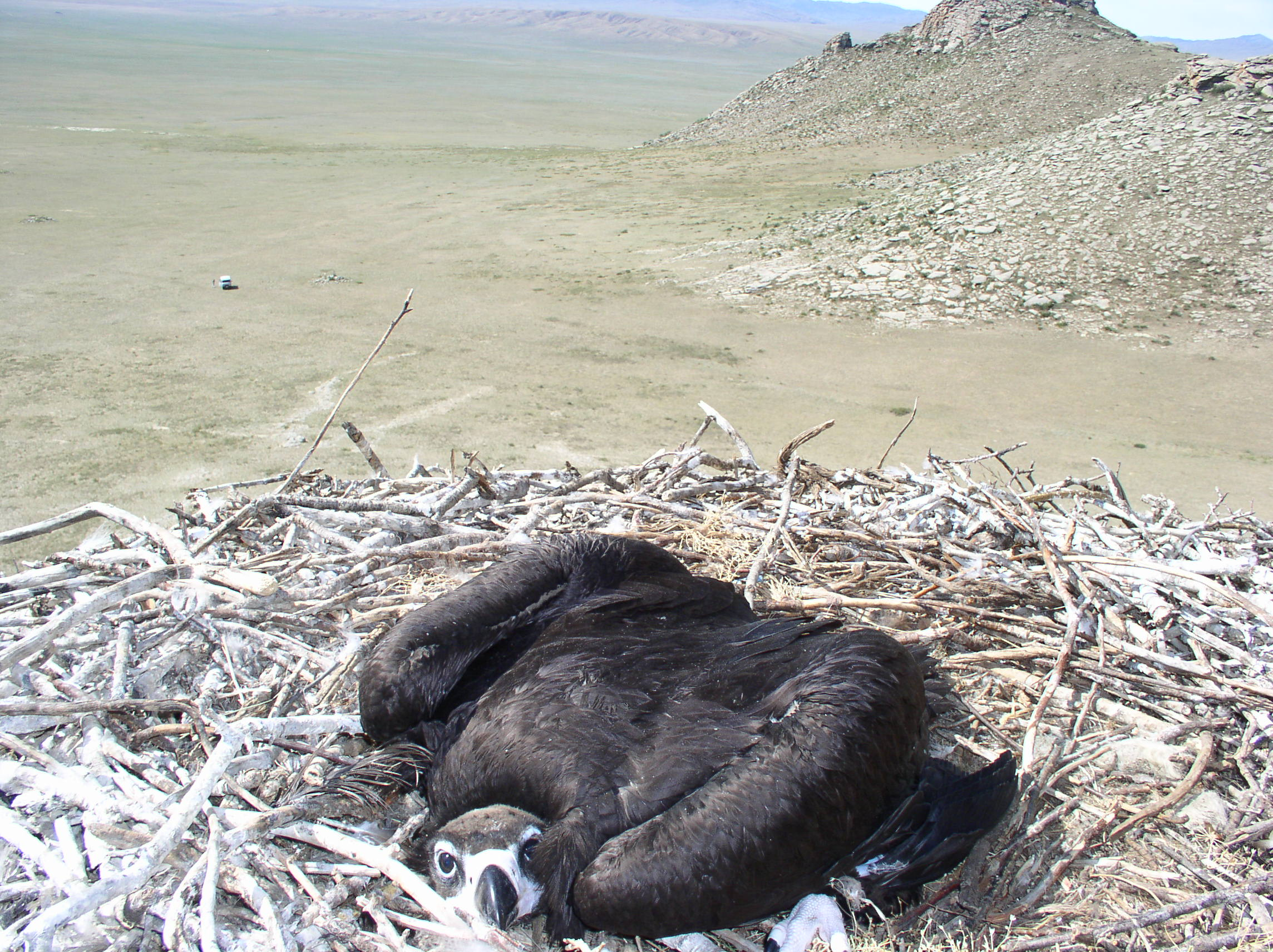 A vulture protecting its nest