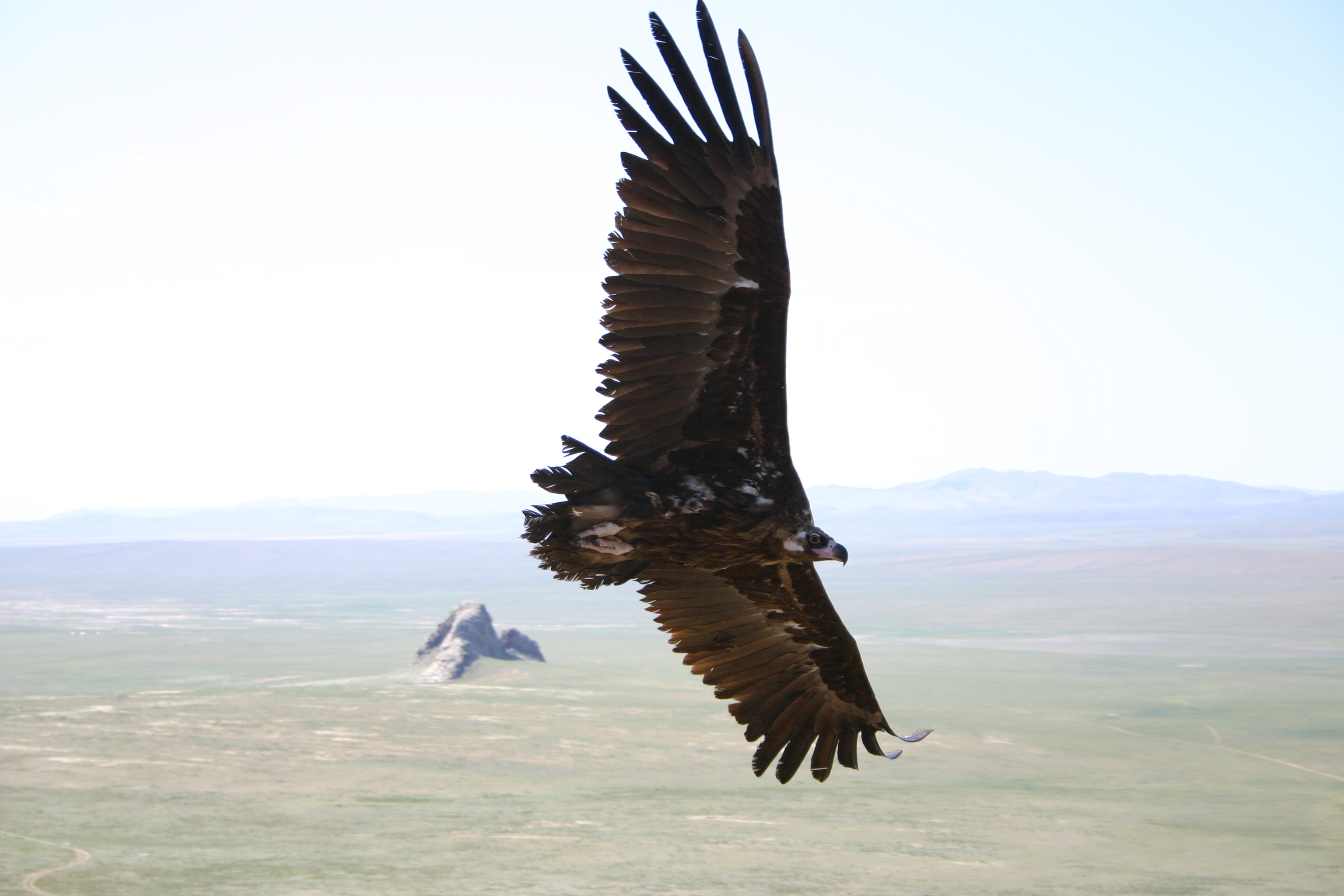 Old and new world vultures now share similar genetic profiles