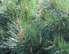 800px-Pinus_sylvestris_Watereri_01 credit Agnieszka Kwieceri