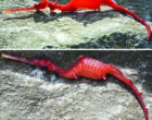 a-ruby-seadragon-phyllopteryx-dewysea-that-washed-up-on-the-point-culver-cliffs-in-western-australia-photos-taken-by