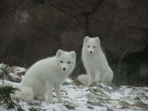 Rabies virus is maintained in Alaska and the Arctic by the arctic fox