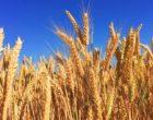 wheat-863392_640