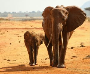 Two studies applied innovative DNA assignment methods to large seizures of ivory to identify the geographic origins of elephant poaching. Results indicated that seized ivory emanated from specific areas in Africa, leading the researchers to conclude that elephant poaching is spatially concentrated