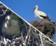 Monk parakeet and white stork