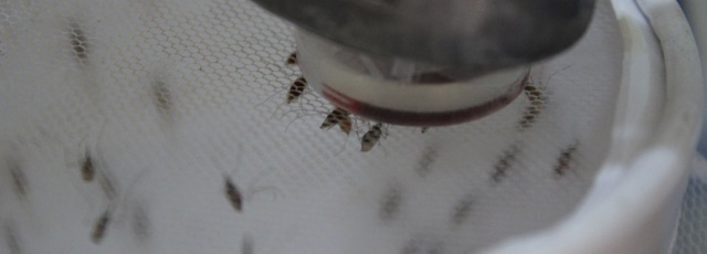 Mosquitos taking a bloodmeal on an artificial membrane feeder.