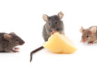 Three mice running towards a piece of cheese