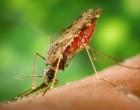 Anopheles_albimanus_mosquito