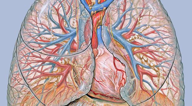 General thoracic anatomy