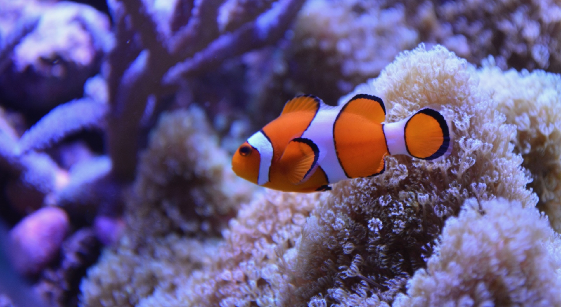 Image representing theme of post: 'Evolution and development of white stripes in Nemo and his cousins'
